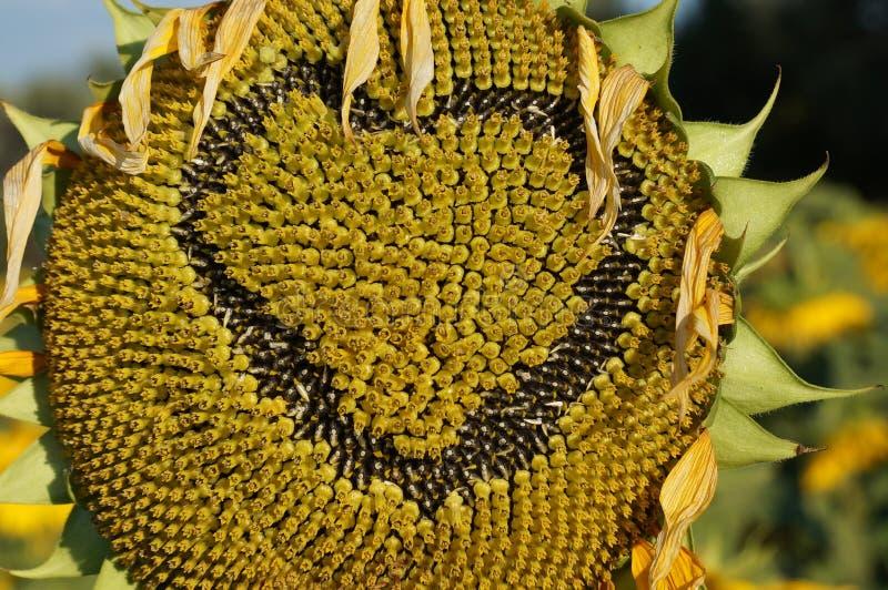 Blommasolros royaltyfria bilder