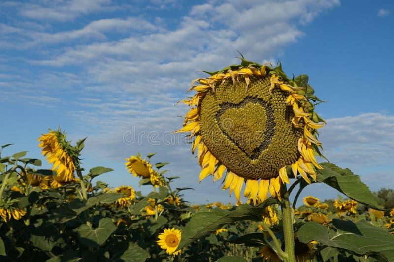 Blommasolros royaltyfria foton