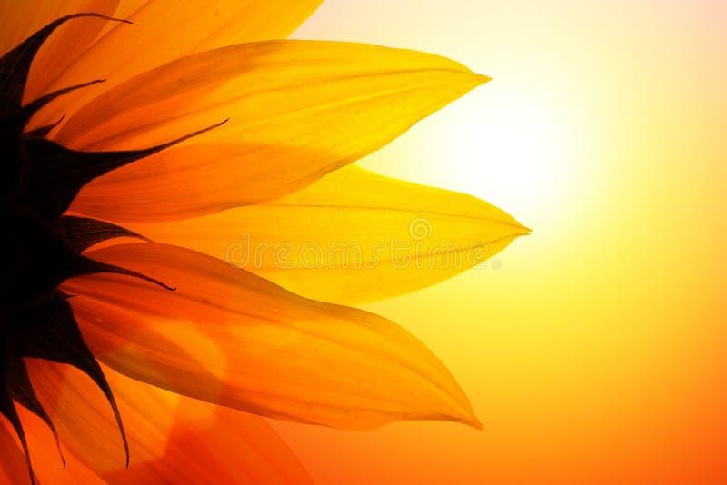 blommasolros royaltyfri foto