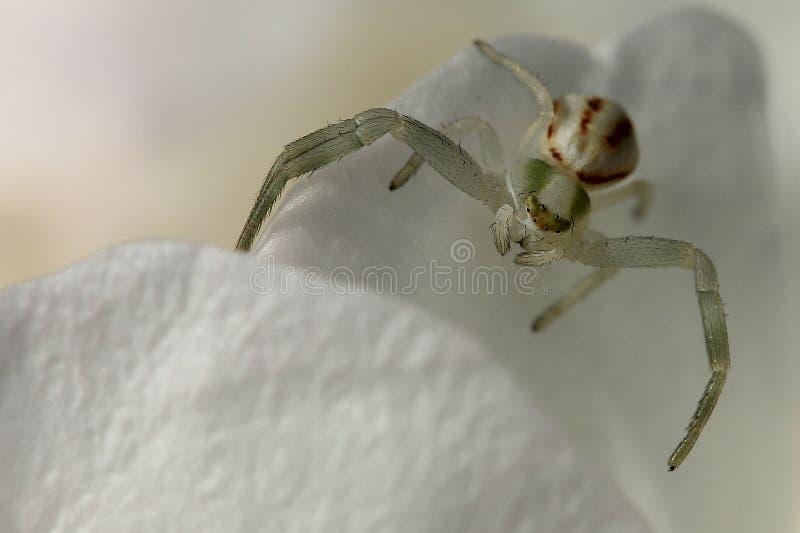 Blommaspindel som väntar på dess rov fotografering för bildbyråer