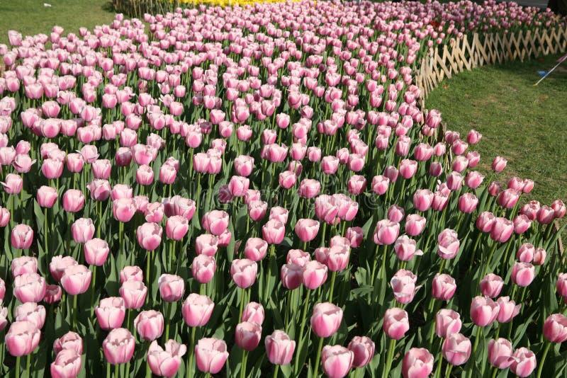 blommatulpan royaltyfri bild