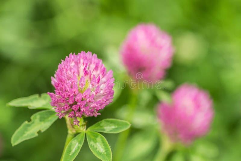 Blommaväxt av släktet Trifolium arkivbilder