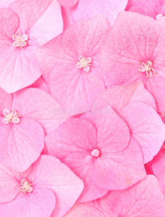 blommavanlig hortensia royaltyfri bild