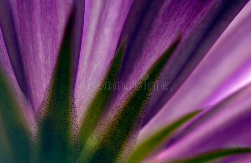 blommaviolet royaltyfri foto