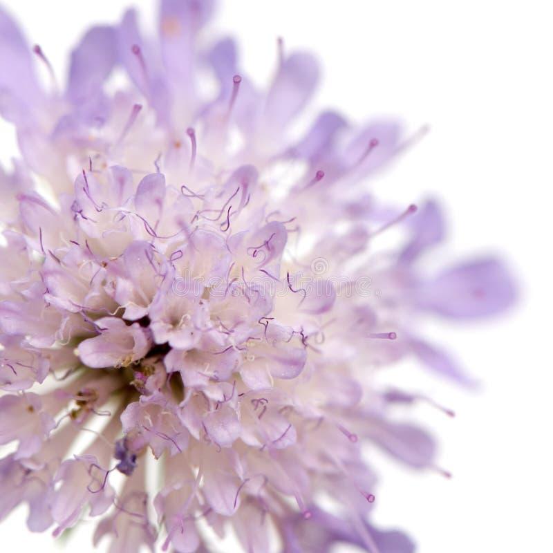 blommaviolet royaltyfri bild