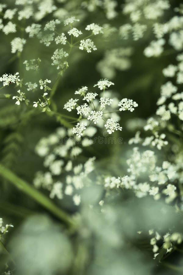 Blommavitslån royaltyfri foto