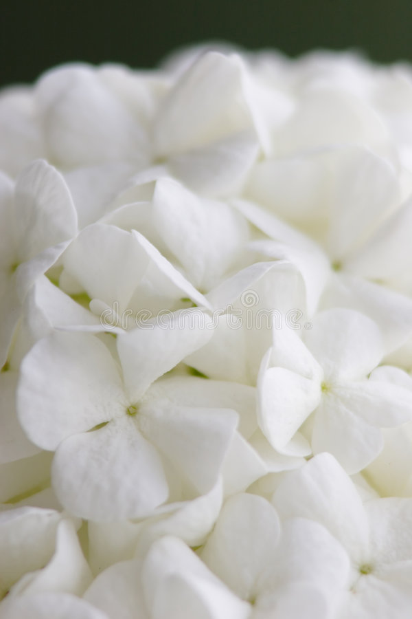 blommawhite royaltyfri foto