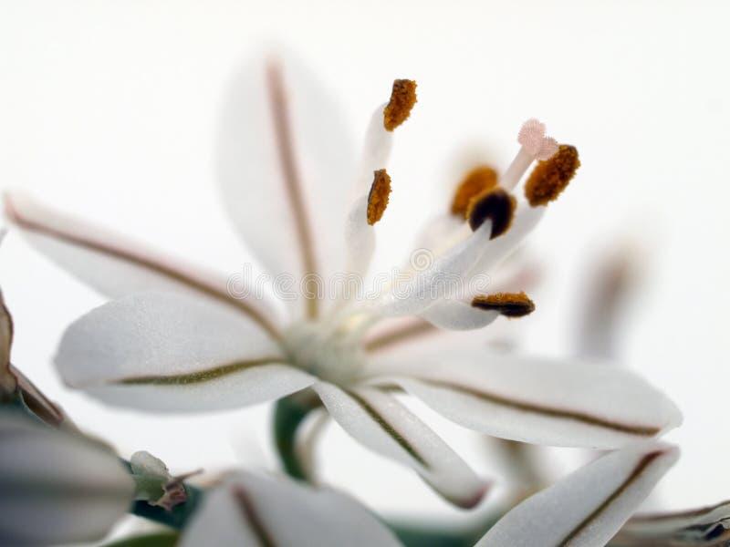 blommawhite arkivbild