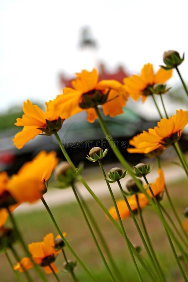 Download Blommayellow fotografering för bildbyråer. Bild av leaf - 977439