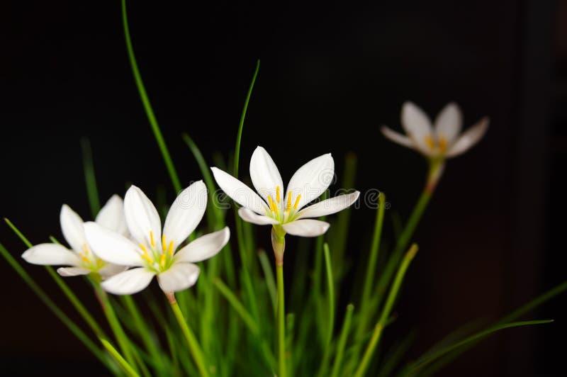 BlommaZephyranthes vit (Candida Herb) royaltyfria foton