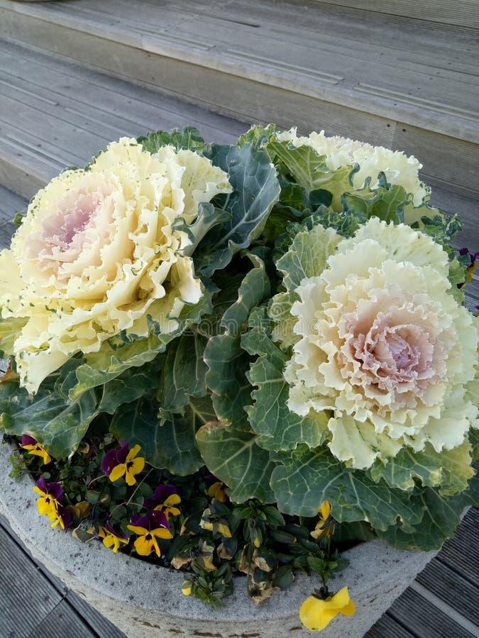 blommig kål royaltyfri foto