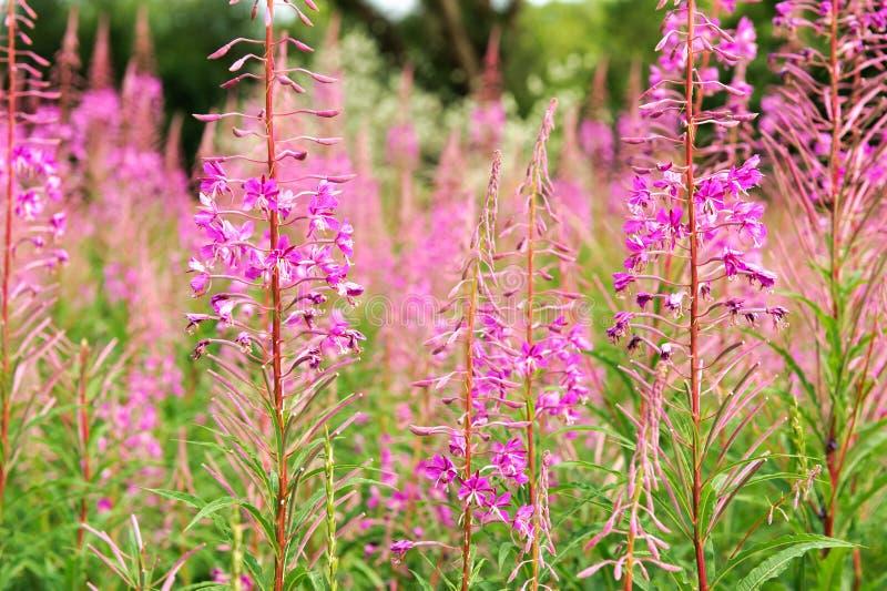 Blommigt pilörtte på en sommartid royaltyfria bilder