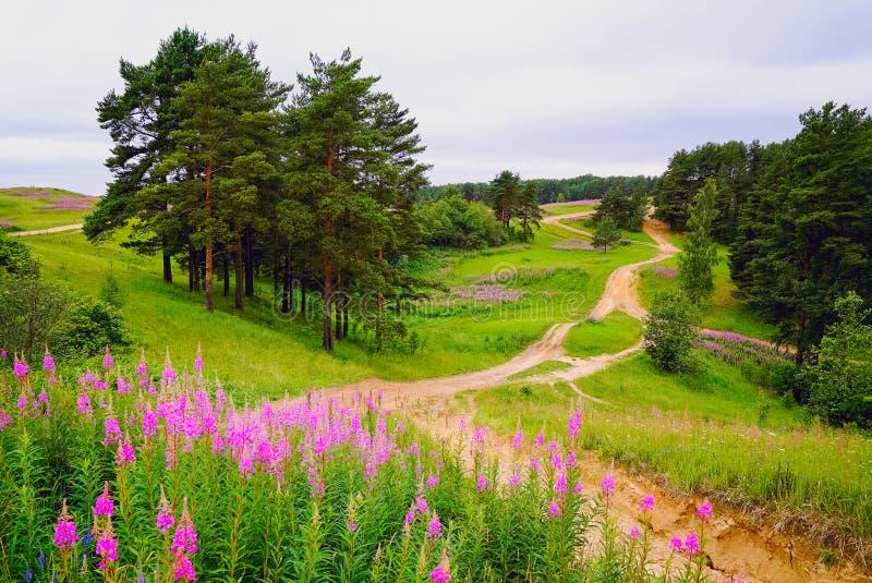 Blommigt willowherbIvan te Koltush höjder - naturligt landskap, Vsevolozhsky område, Leningrad region royaltyfri foto