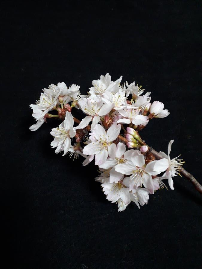 Blommor är från träd för prinsessa Kay royaltyfri fotografi