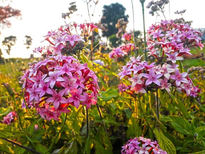 blommor arbeta i trädgården purple arkivfoton
