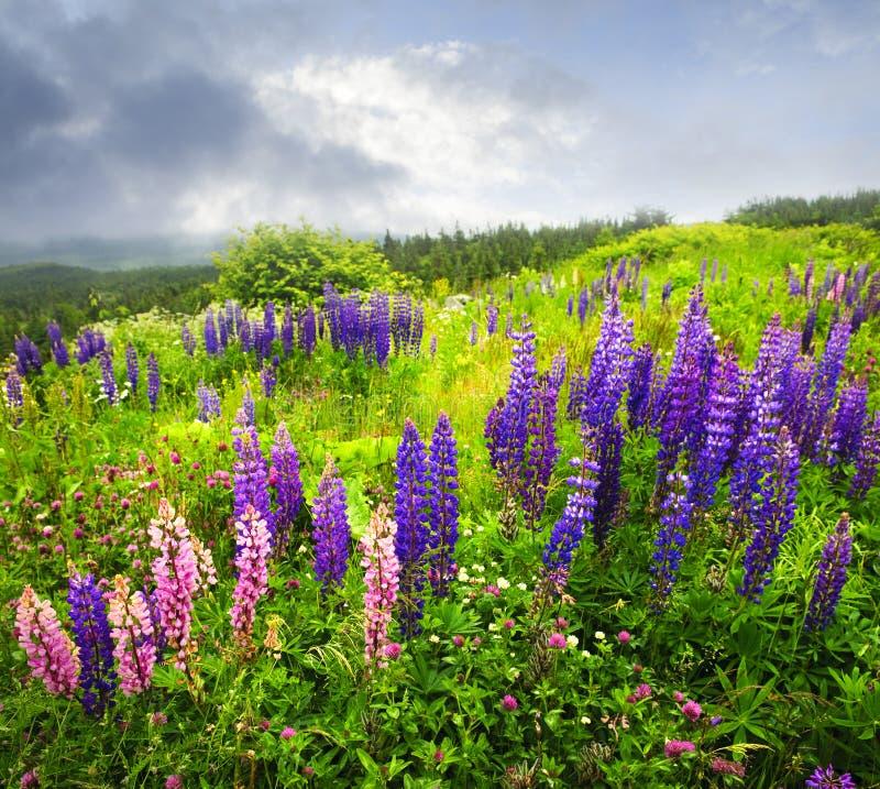 blommor arbeta i trädgården rosa purple för lupin royaltyfria foton