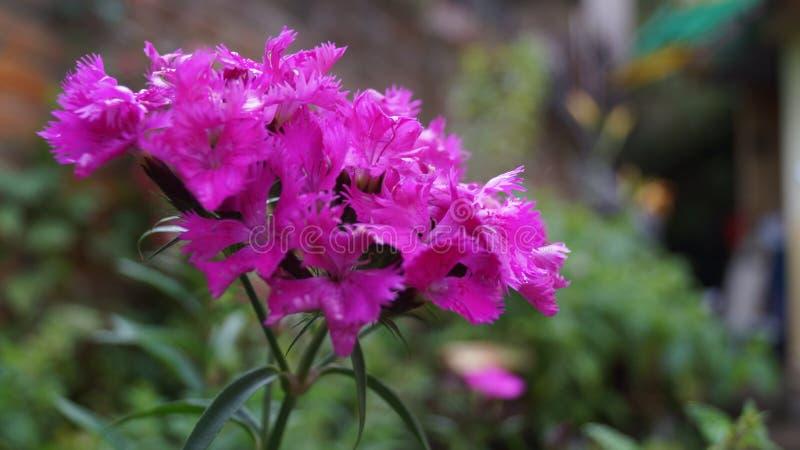 blommor arbeta i trädgården violeten royaltyfri fotografi