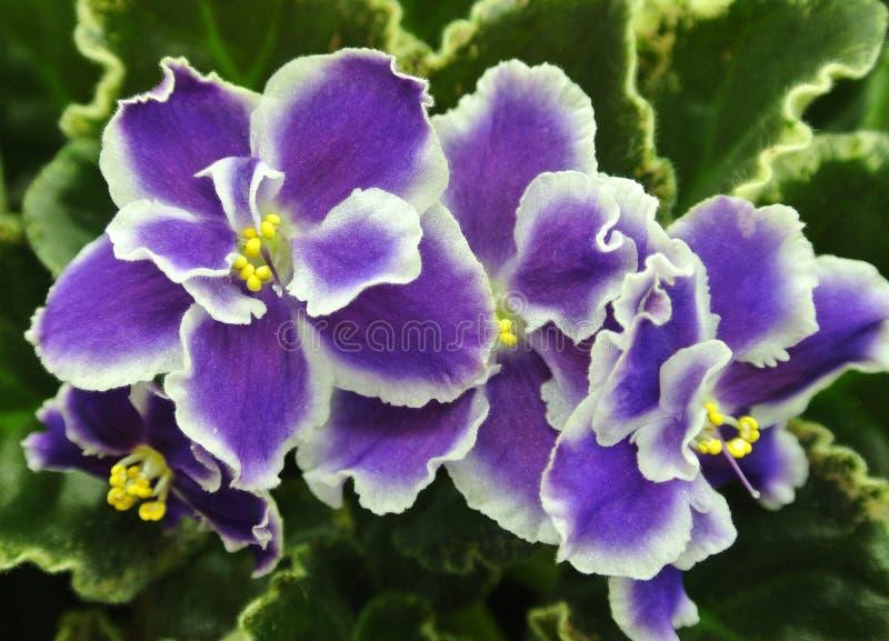 Blommor av afrikanska Violets 'sommarskymning ', närbild fotografering för bildbyråer