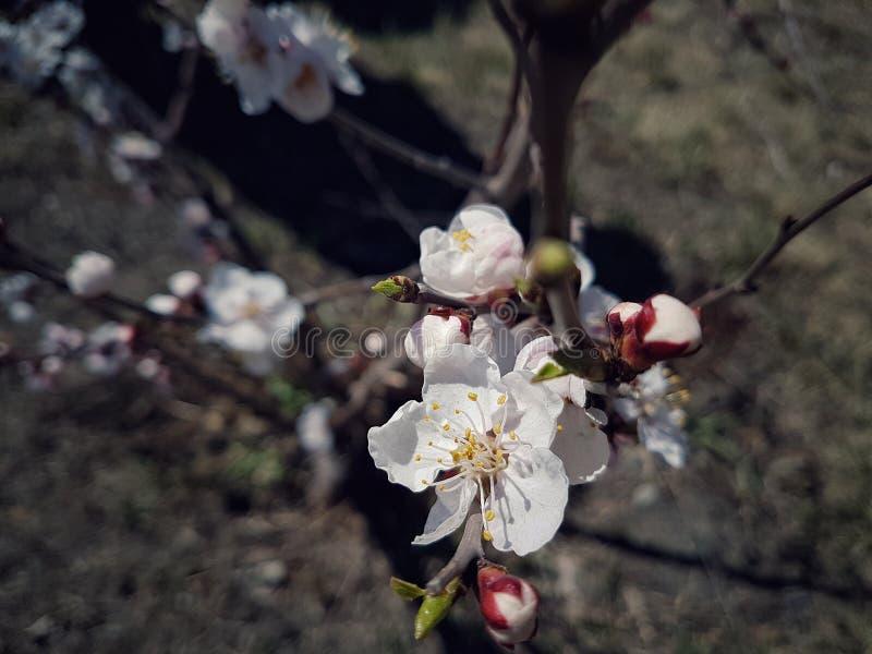 Blommor av aprikosen arkivfoto