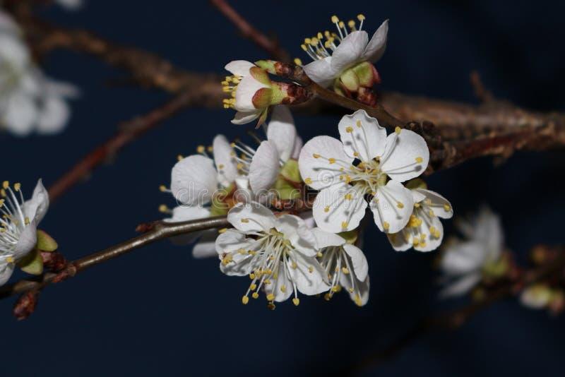Blommor av aprikosen färglinje nattfotografi arkivfoto