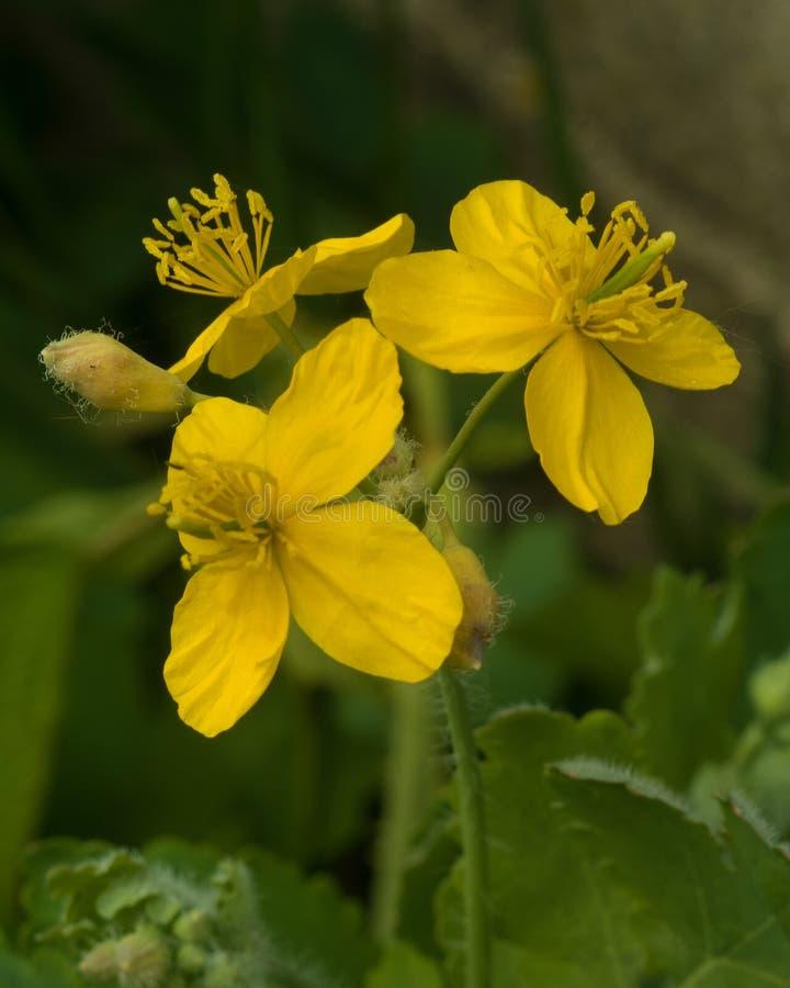 Blommor av celandine royaltyfri bild