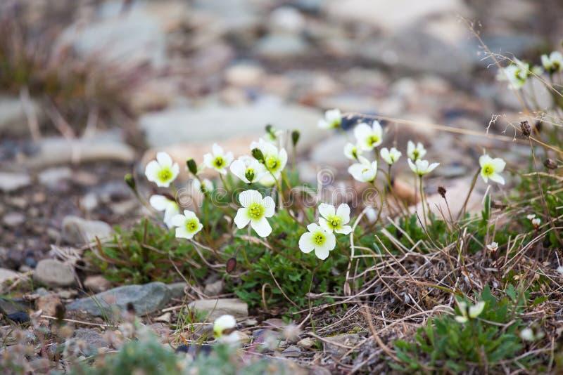 Blommor av dahlianumen för Papaver för Svalbard vallmo den vita i Svalbard Floraarktisk av Norge royaltyfri bild