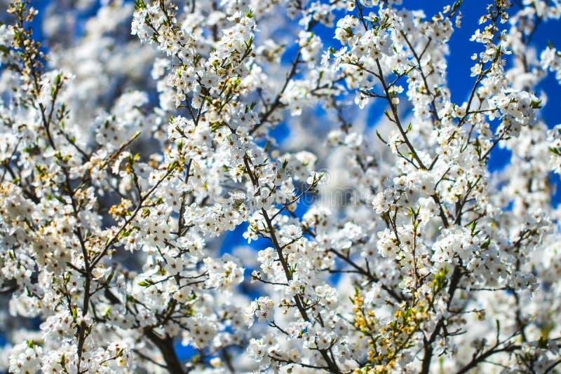 Blommor av de körsbärsröda blomningarna på en vårdag fotografering för bildbyråer