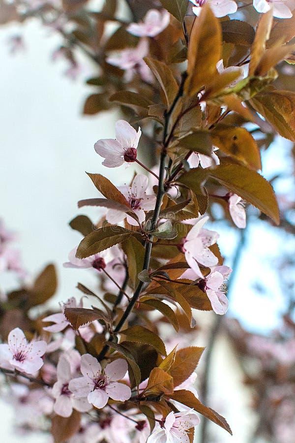 Blommor av de k?rsb?rsr?da blomningarna p? en v?rdag fotografering för bildbyråer