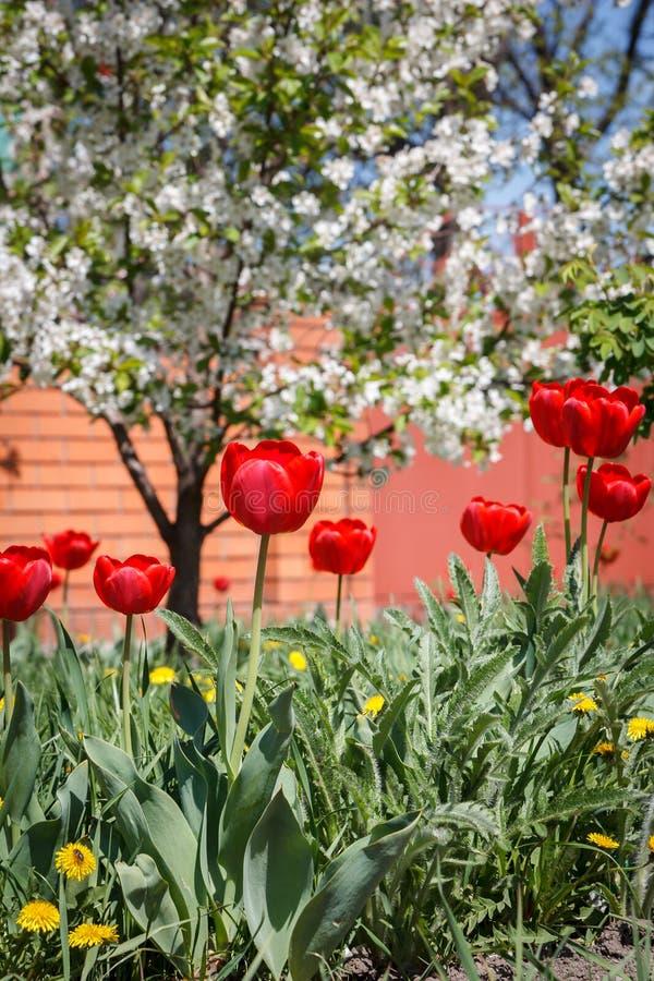 Blommor av den främsta trädgården för tulpan och för grönt gräs fotografering för bildbyråer