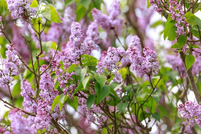 Blommor av den gemensamma lila syringaen som är vulgaris i vårträdgård royaltyfria bilder
