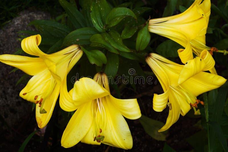 Blommor av den gula liljan royaltyfri fotografi