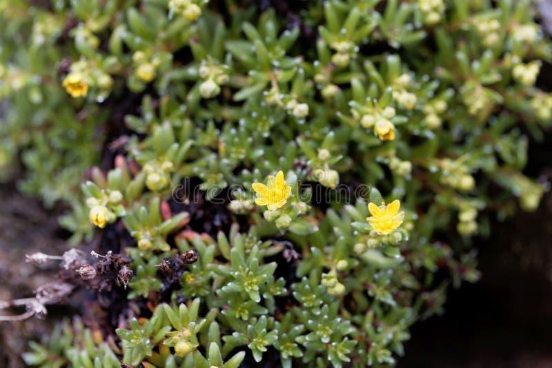 Blommor av den musky stenbräckaSaxifragamoschataen royaltyfri bild