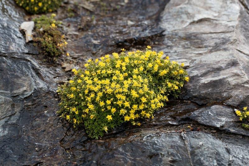 Blommor av den musky stenbräckaSaxifragamoschataen arkivbilder
