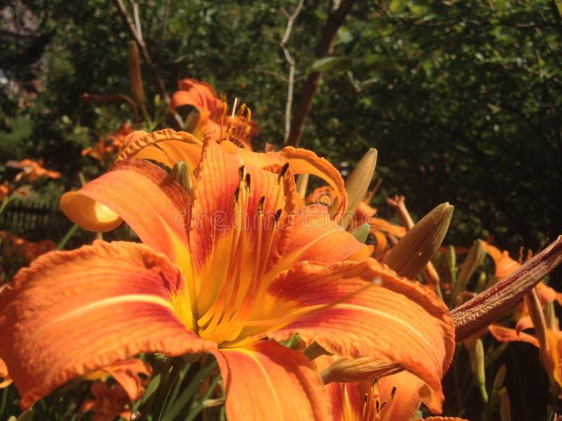 Blommor av den orange daylilyen arkivbild