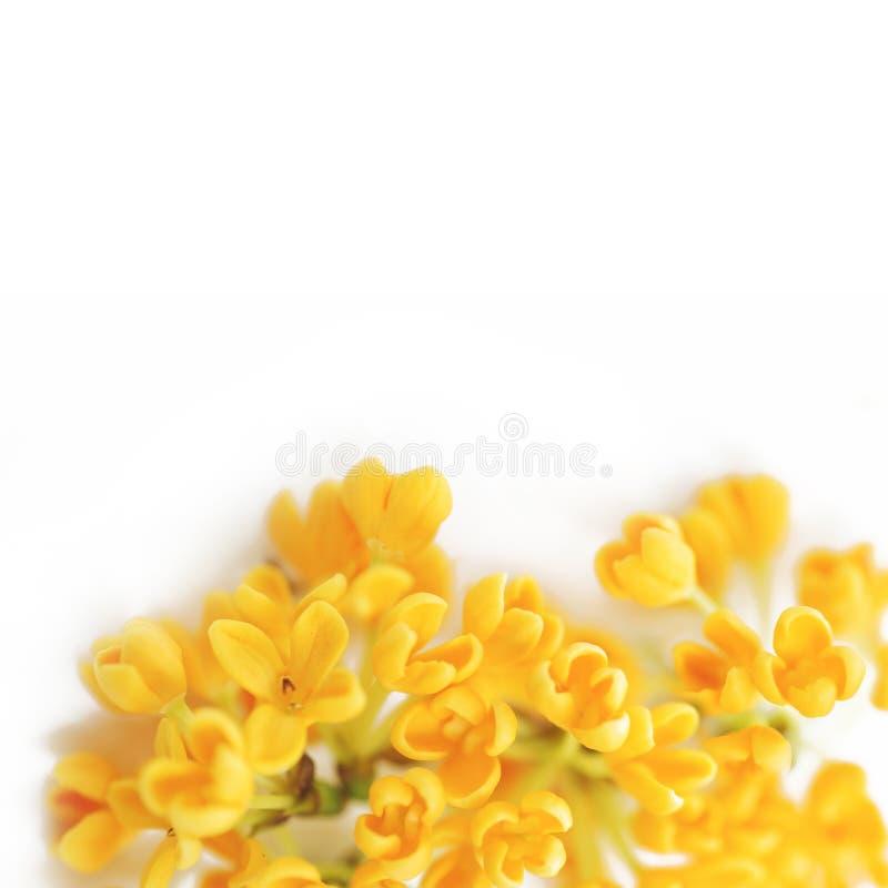 Blommor av den söta osmanthusen på en vit bakgrund royaltyfria bilder