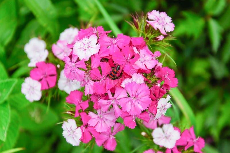 Blommor av den söta William Dianthus barbatusen royaltyfria bilder