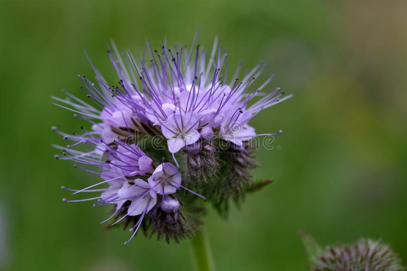 Blommor av den spets- phaceliaen arkivfoto
