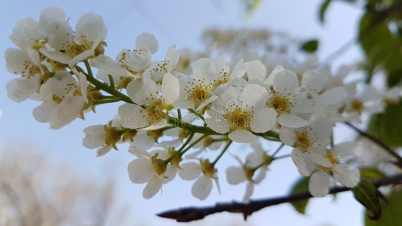 Blommor av den vita hägget royaltyfri fotografi
