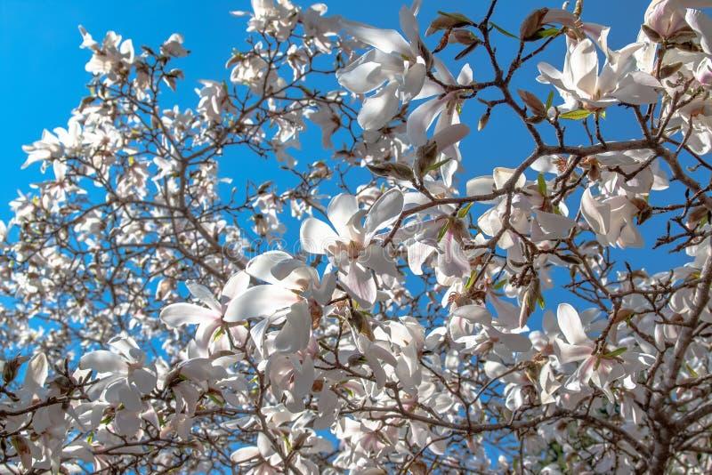 Blommor av den vita magnolian mot den blåa himlen Vår som blommar och blommar royaltyfria bilder