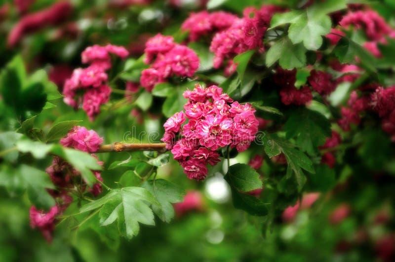 Blommor av det blommande hagtornträdet (mjukt bearbeta för fokus) royaltyfri foto