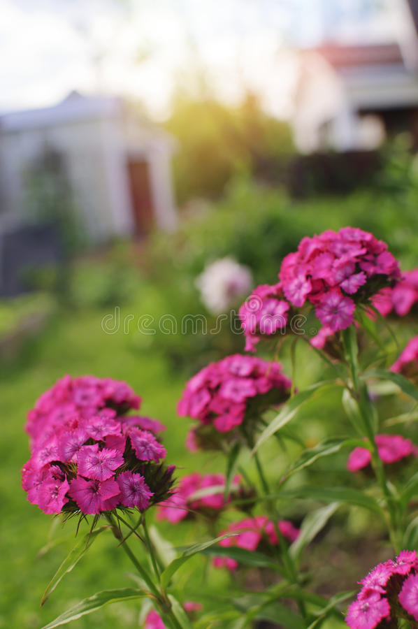 Blommor av en nejlika arkivfoto