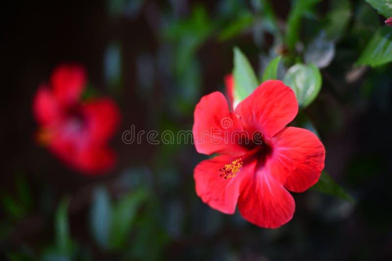 Blommor av en röd hibiskus & x28; kinesisk rose& x29; royaltyfri foto