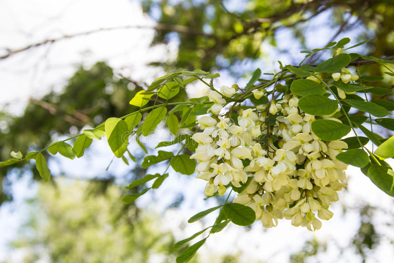 Blommor av en vit akacia royaltyfria foton