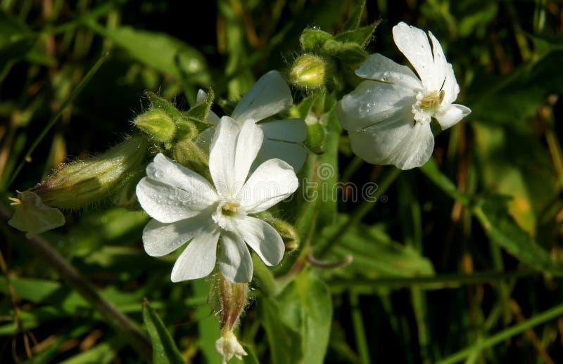Blommor av en vit glim arkivfoto
