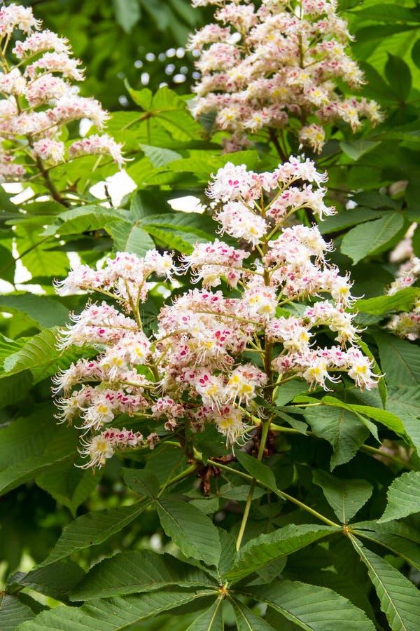 Blommor av ett träd en kastanj Vår som blomstrar blommor för kastanjebrunt träd fotografering för bildbyråer