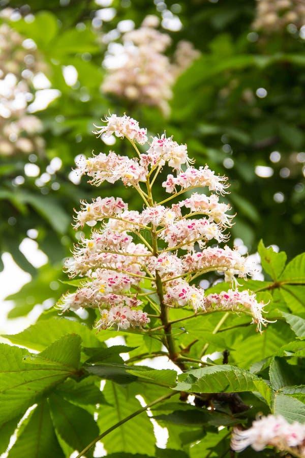 Blommor av ett träd en kastanj Vår som blomstrar blommor för kastanjebrunt träd royaltyfria foton