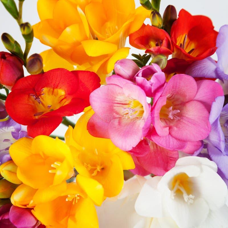 Blommor av freesia fotografering för bildbyråer