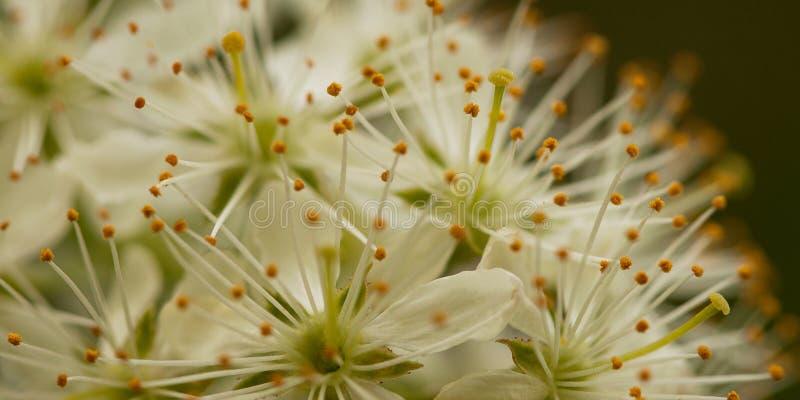 Blommor av hägget fotografering för bildbyråer