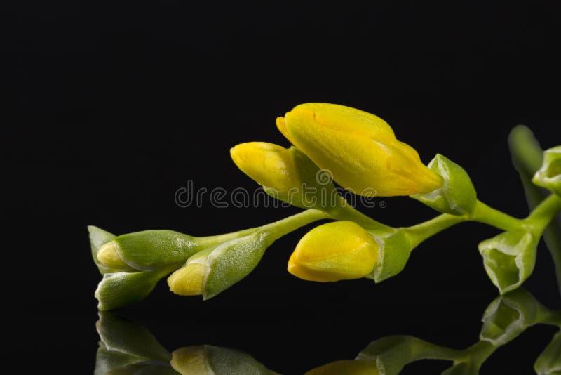 Blommor av härlig gul freesia som isoleras på svart bakgrund arkivbild