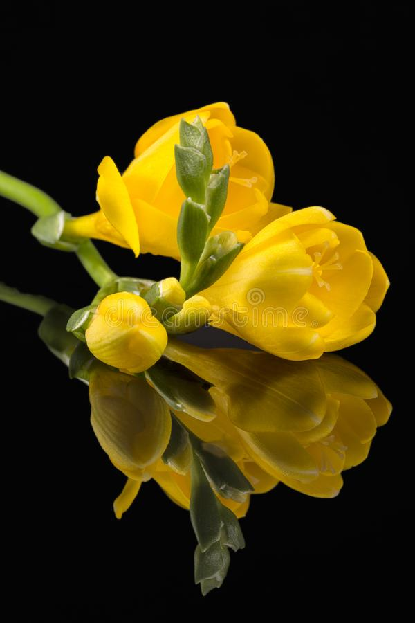 Blommor av härlig gul freesia som isoleras på svart bakgrund royaltyfria foton